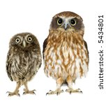 Stock photo female owl and a owlet in front of a white background is not the same species 5434801