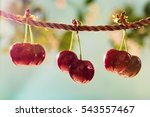 cherries on the string in the... | Shutterstock . vector #543557467
