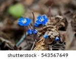 Hepatica Nobilis Flower ...