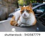 Homeless Red Street Cat Lying...
