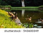 Bird Duck  Mallard. Wild Natur...