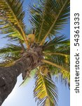 coconuts on a palm tree | Shutterstock . vector #54361333