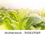 close up nicotiana tabacum  the ... | Shutterstock . vector #543619369