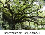 Small photo of Huge Tree