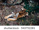 Wild Tiger Cub Playing  In The...
