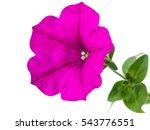 Blooming Vivid Purple Petunia...