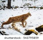 lynx hunting in winter   Shutterstock . vector #543795859