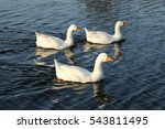 Three Geese On Water
