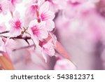 soft focus cherry blossoms ...   Shutterstock . vector #543812371