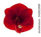 Small photo of red Amaryllis AKA Hippeastrum flower isolated on white