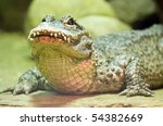 Small photo of Chinese Alligator (Alligator sinensis) in a Moscow Zoo