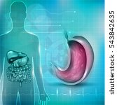 stomach cross section anatomy... | Shutterstock .eps vector #543842635