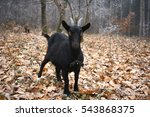Black Goat In A Autumn Forest