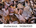 Autumn. Leaves In Ice....
