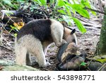 anteater in corcovado national... | Shutterstock . vector #543898771