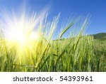 Green Wheat Ears In A Rays Of...