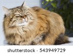 Stock photo furry brown cat in the garden siberian breed 543949729