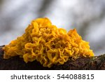 Yellow Brain Fungus  Tremella...