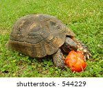 Tortoise Eating A Tomato