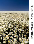 A perfect field of white daisy's under a blue sky - stock photo