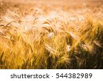 Golden Barley Field And Sunny...