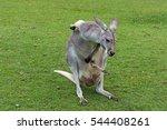 mother kangaroo carrying her... | Shutterstock . vector #544408261