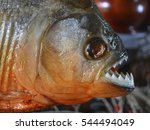 Red bellied piranhas on sale at ...
