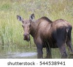 Small photo of Alaskan moose in pond