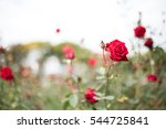 Stock photo roses garden 544725841