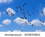 Flock Of Lesser Whistling Duck...