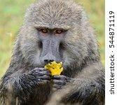 baboon in african natural park | Shutterstock . vector #544871119