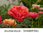 herbaceous peonies 'coral charm'...   Shutterstock . vector #544889581