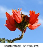 Small photo of Red flowers on an African tuliptree