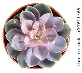 echeveria in pot isolated on... | Shutterstock . vector #544911769