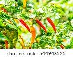 Fresh Chili On Plant  Thailand