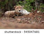 The Cheetah  Acinonyx Jubatus ...