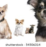 Stock photo group of chihuahua in front of white background 54506314