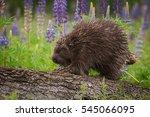 porcupine  erethizon dorsatum ... | Shutterstock . vector #545066095