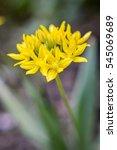 Small photo of Yellow Allium ursinum flower closeup â?? known as ramsons, buckrams, wild garlic