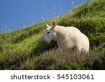 A Young Sheep On A Hill In...