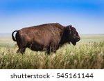 American Bison Buffalo Standin...