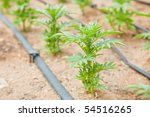 organic plant with watering... | Shutterstock . vector #54516265