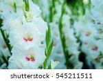 White Gladiolus Flower In Fiel...