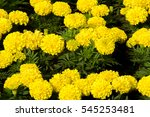 Marigolds Flowers. A Plant Of...