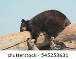 Black Bear  Sleeping On A Log