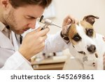 Stock photo healthy cheerful dog closeup of a cute jack russel terrier puppy getting his ears examined by a 545269861