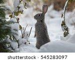 Snow Rabbit  Hare Winter