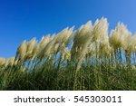 Waving Pampas Grass Under Clea...