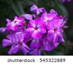 Close Up Of Blooming Phlox...