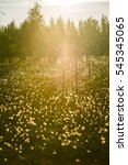 Small photo of A beautiful bog landscape with cottongrass in sunset with a sun flare - a dreamy look